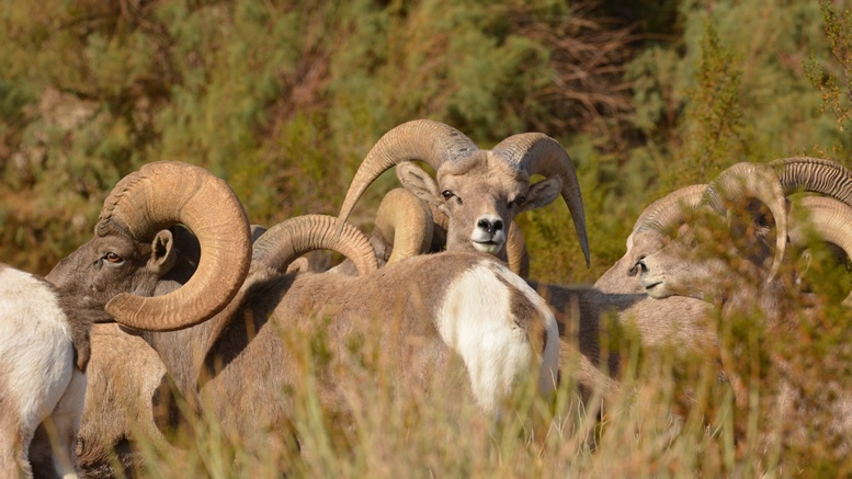 Big Horn Sheep like to graze in Hemenway Park in Boulder City